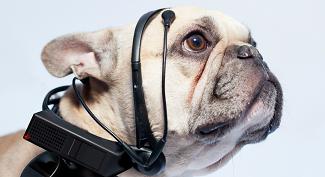 Auriculares para perros que traducen sus pensamientos. Intento de mejoramiento animal
