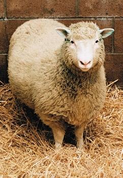 La oveja Dolly fue el primer animal clonado. Intento de mejoramiento