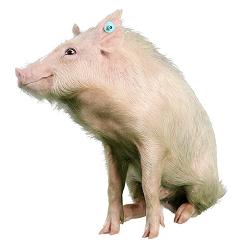 Cerdos en miniatura